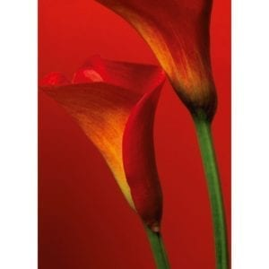 FOTOMURAL RED CALLA LILIES 406