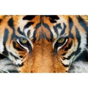 FOTOMURAL TIGER 608